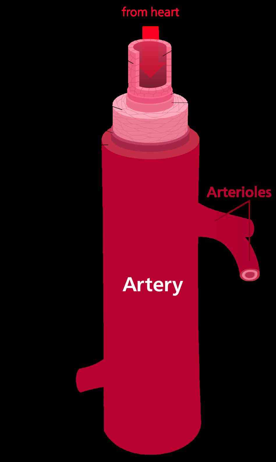 All Arteries Carry Oxygenated Blood Except Pictures Wallpapers