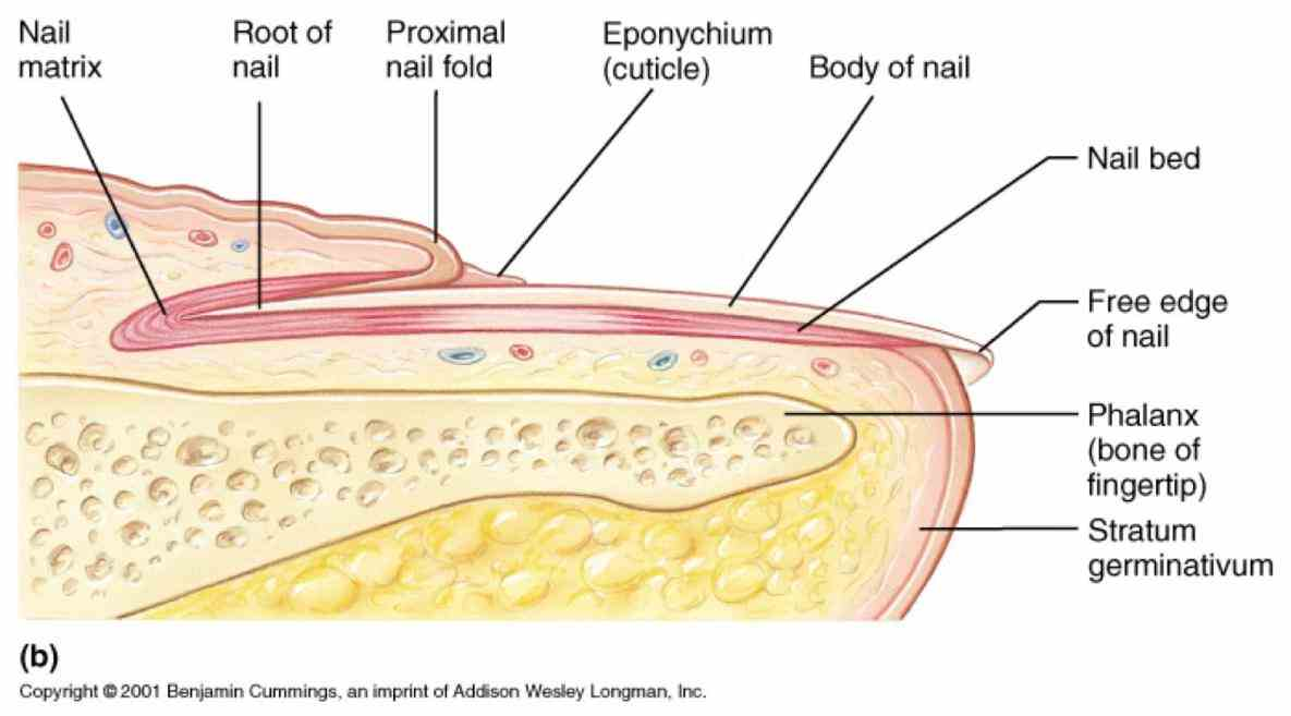 Anatomy Of The Fingernail Pictures Wallpapers