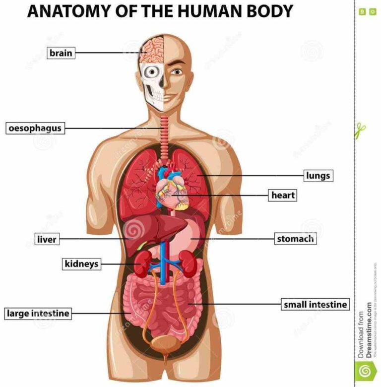 Diagram of the organs in your body