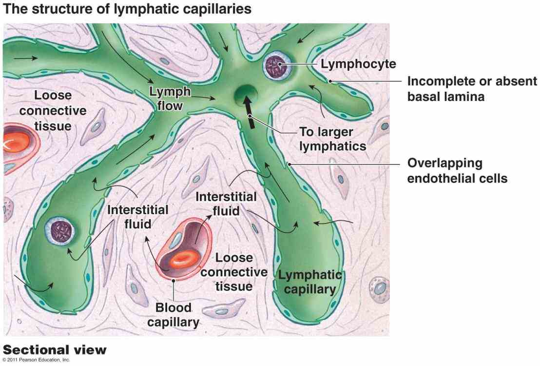 Cells Of The Lymphatic System Pictures Wallpapers