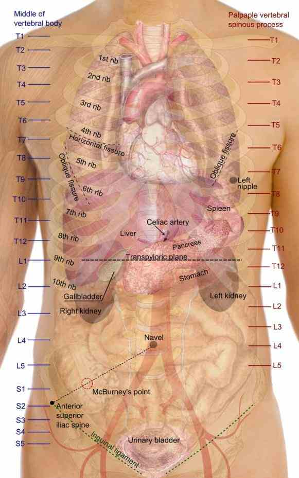 Anterior Body Region Containing The Chest Pictures Wallpapers