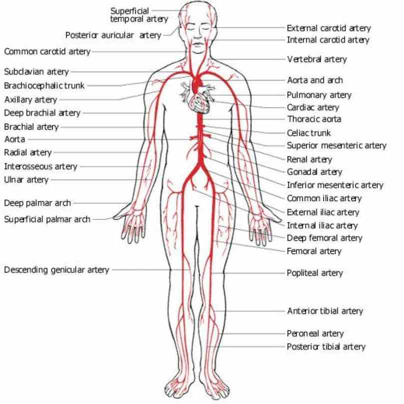 Arteries And Veins Structure Anatomy Pictures Wallpapers