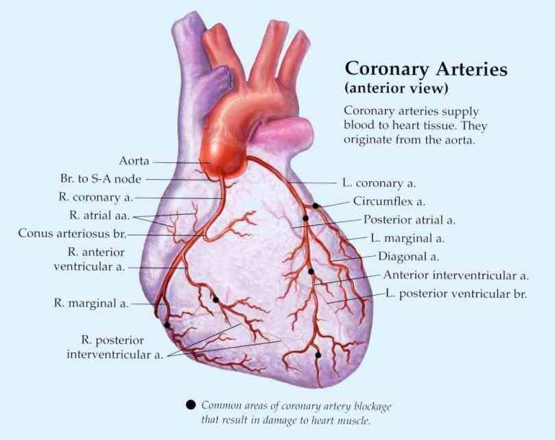 click to purchase all lessons the anatomy of circulatory coronary Arteries Of The Heart Diagram circulation wikipedia arteries of