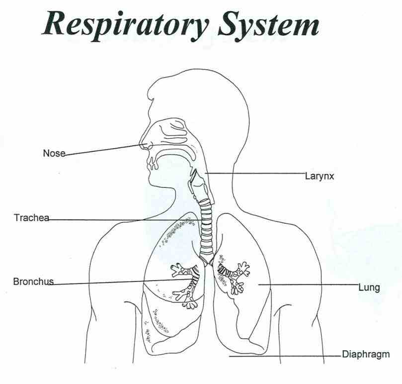 Labeled Respiratory System Of Cow Pictures Wallpapers