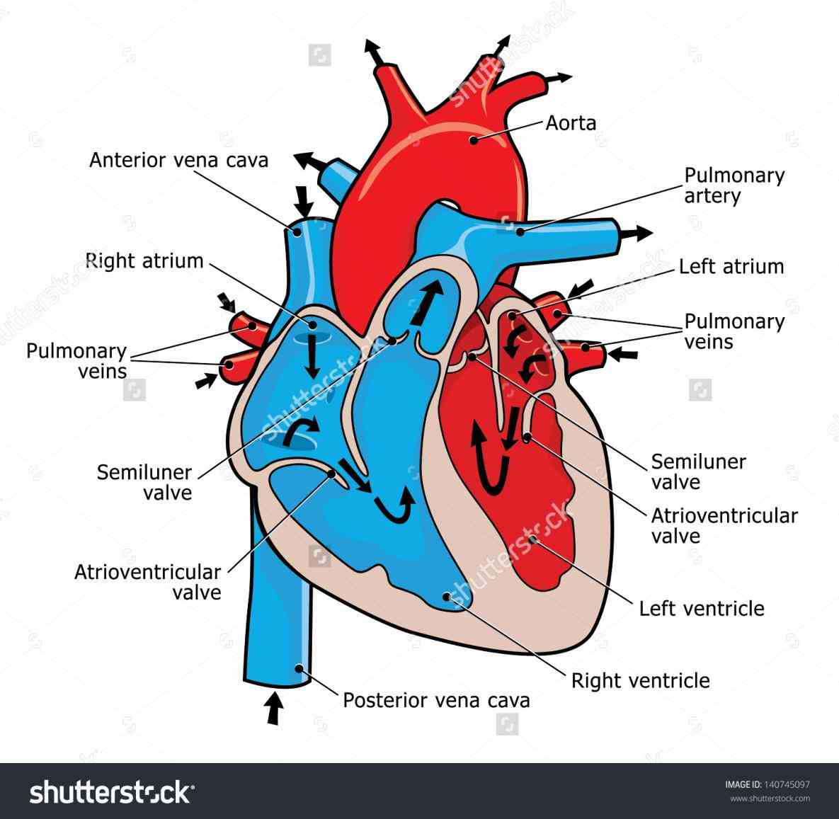 Images Of Human Heart Anatomy Pictures Wallpapers