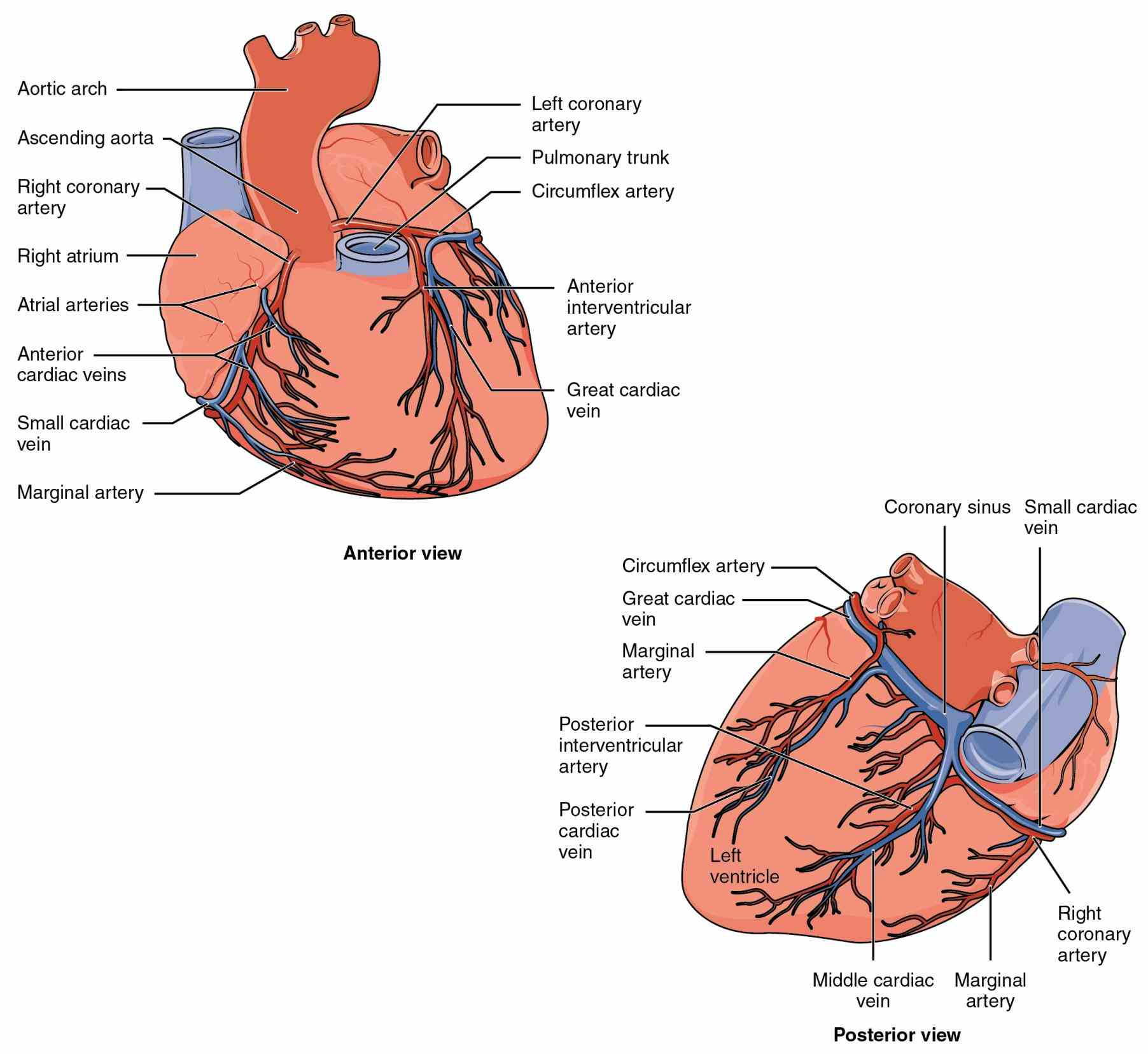 Human Anterior Wall Of The Heart Pictures Wallpapers