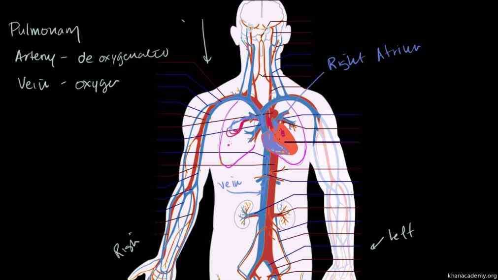 contrast arteries away from heartand capillaries are connection between  all All Arteries Carry Oxygenated Blood Except arteries carry oxygenated