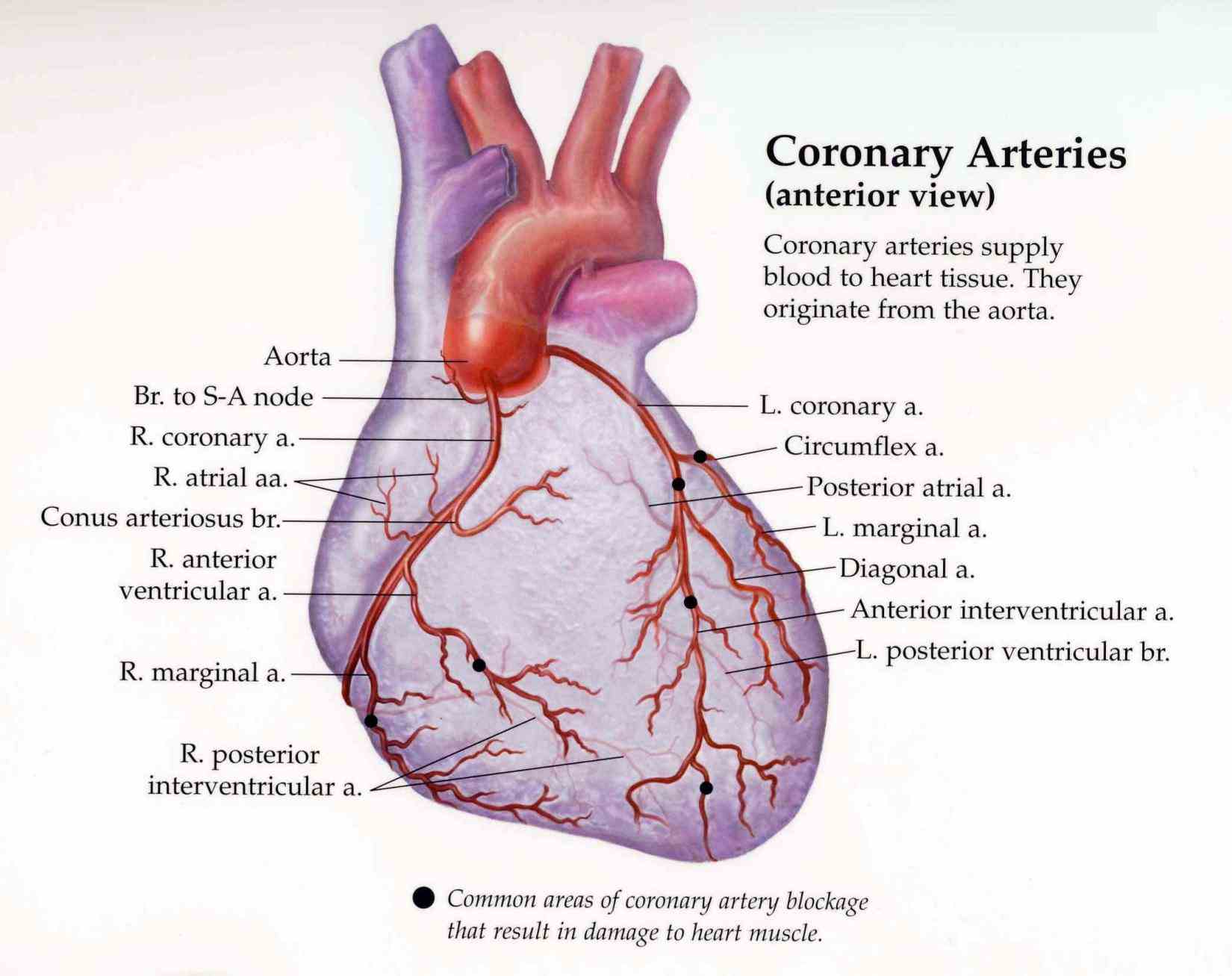 Arteries Of The Heart Anatomy Pictures Wallpapers