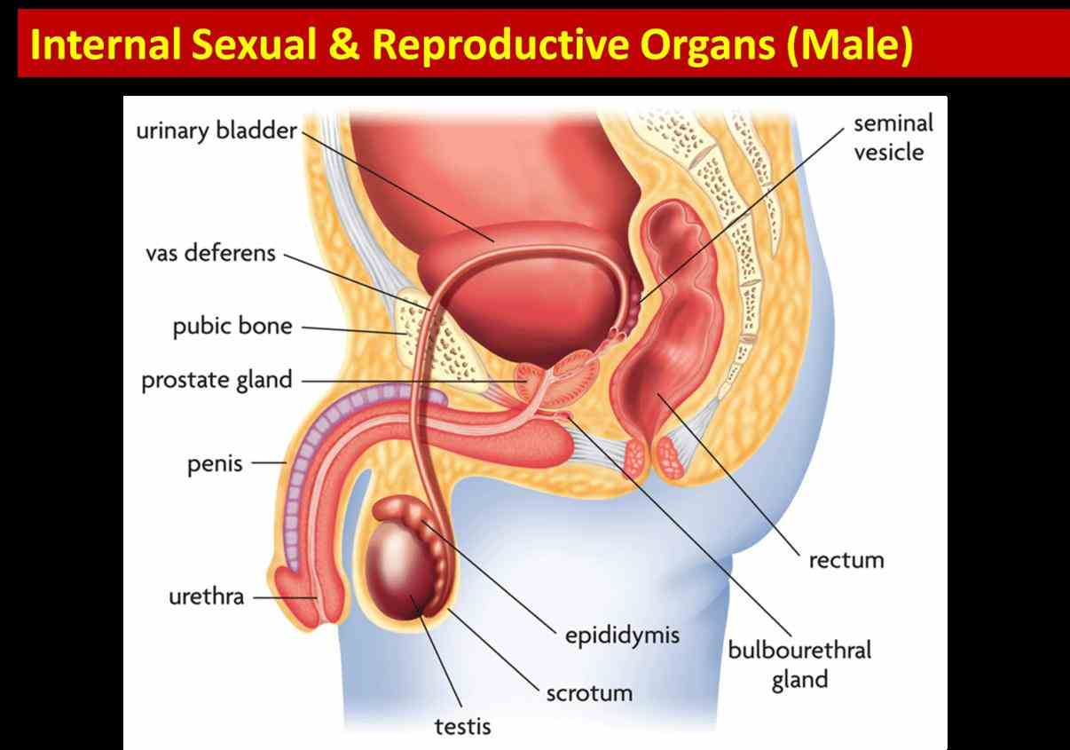 Anatomy Of Male Reproductive System | MedicineBTG.com