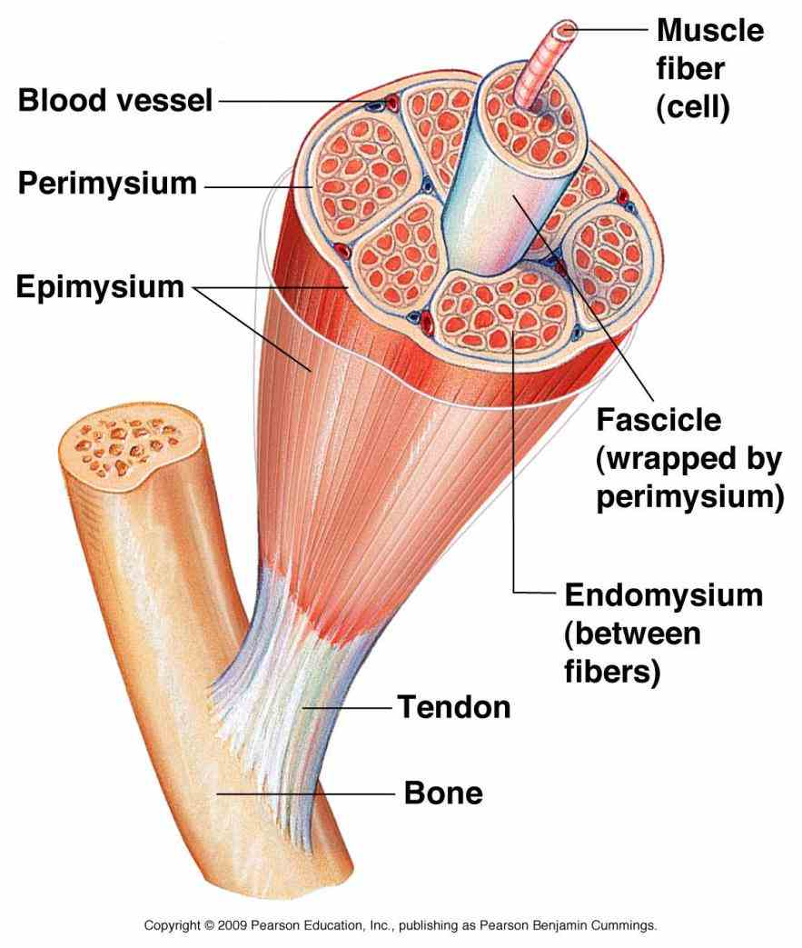 cylindrical cell that contains many nuclei mitochondria and  a Anatomy Of Skeletal Muscles whole skeletal muscle is considered an