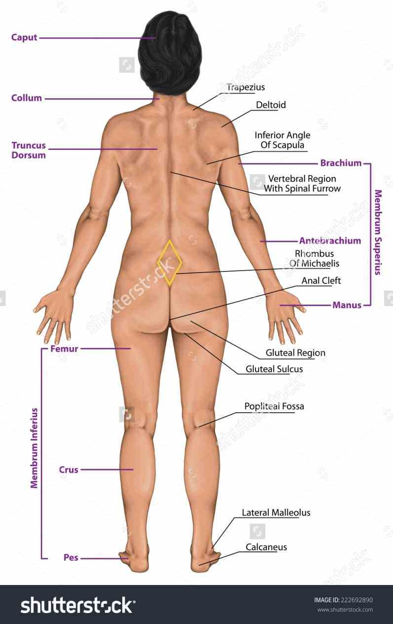 d Female Human Body Structure Anatomy anatomy of the male and female including circulatory system ways to other mammals