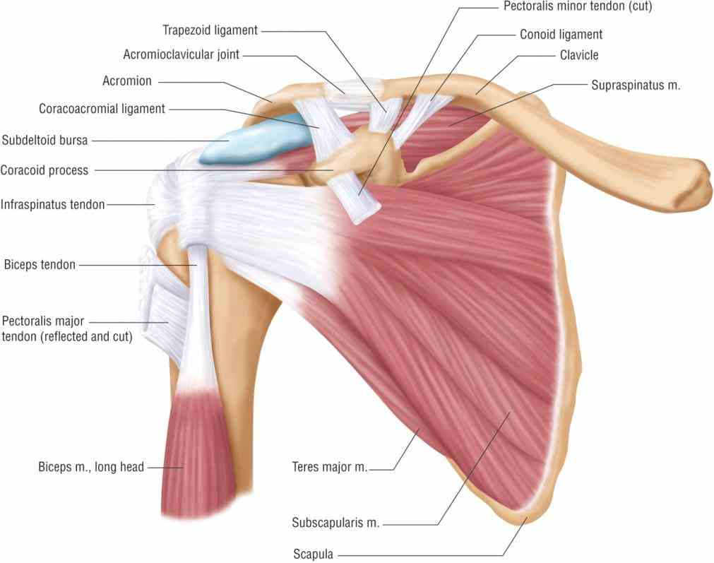 Anatomy Of Shoulder Joint Pictures Wallpapers