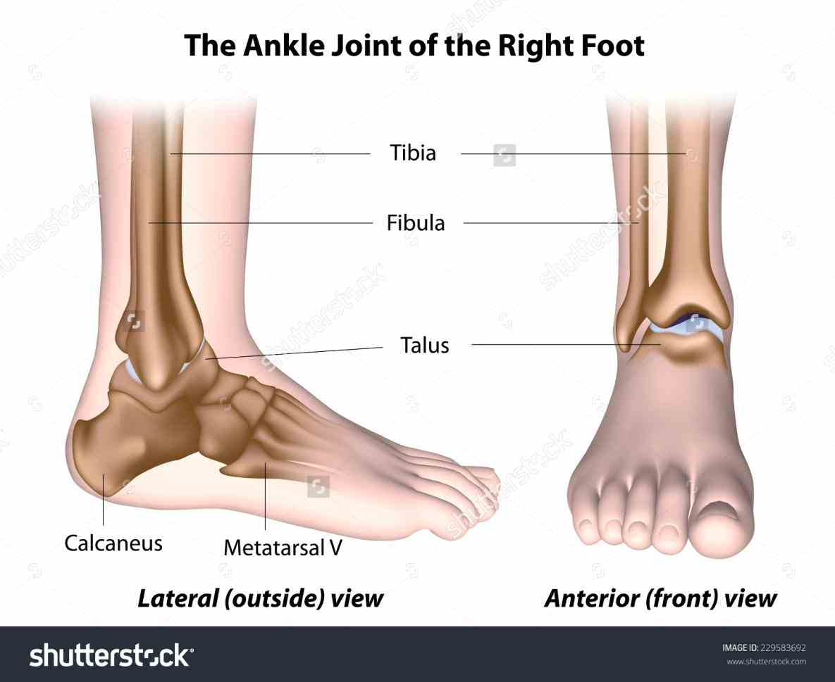 Anatomy Of The Ankle Joint Pictures Wallpapers