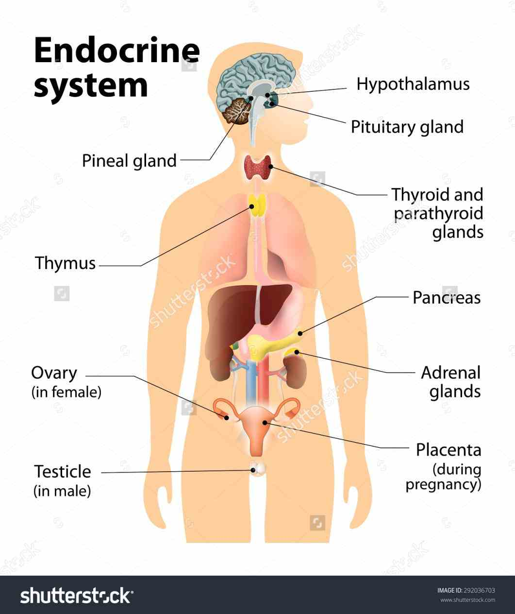 Anatomy Of The Endocrine System Pictures Wallpapers