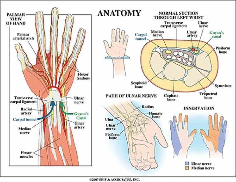 de Anatomy Of The Human Wrist fev see anatomy pictures of the bones in hand and wrist how they