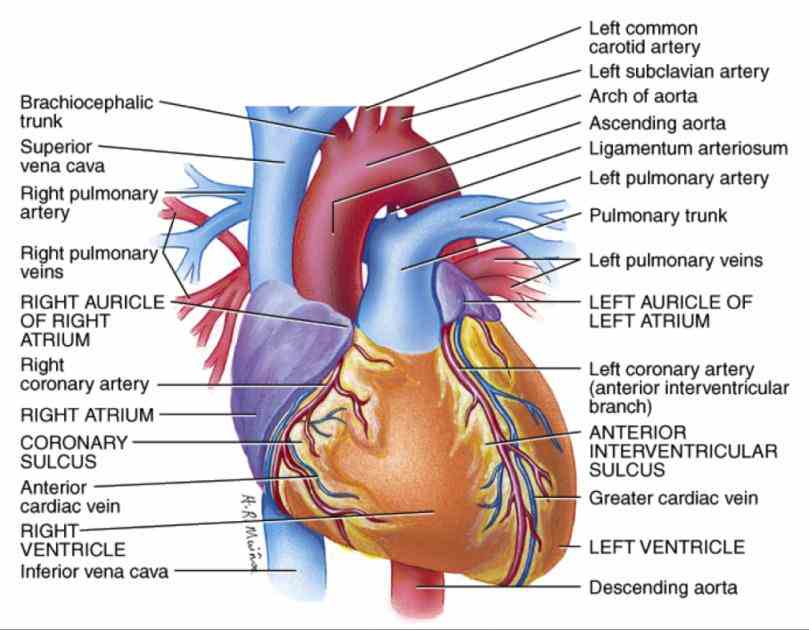 de Heart Blood Vessels Diagram Anatomy ago the blood contains oxygen nutrients wastes and immune other arteries are