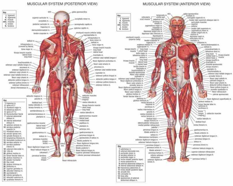 de Labelled Muscled Skeleton mar labelled muscled skeleton human with muscles labeled body diagram photo human  the Labelled