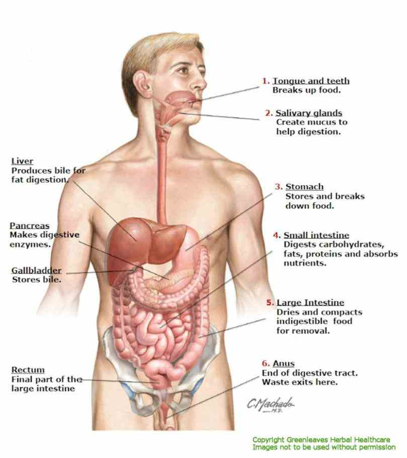 Location Of The Pancreas In The Human Body Pictures Wallpapers