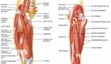 Anatomy of the hip muscles and ligaments