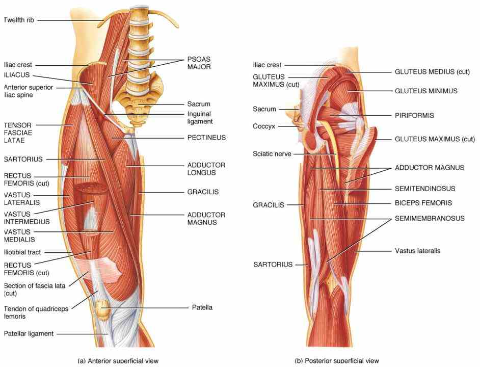 Muscles And Ligaments Of The Hip Pictures Wallpapers