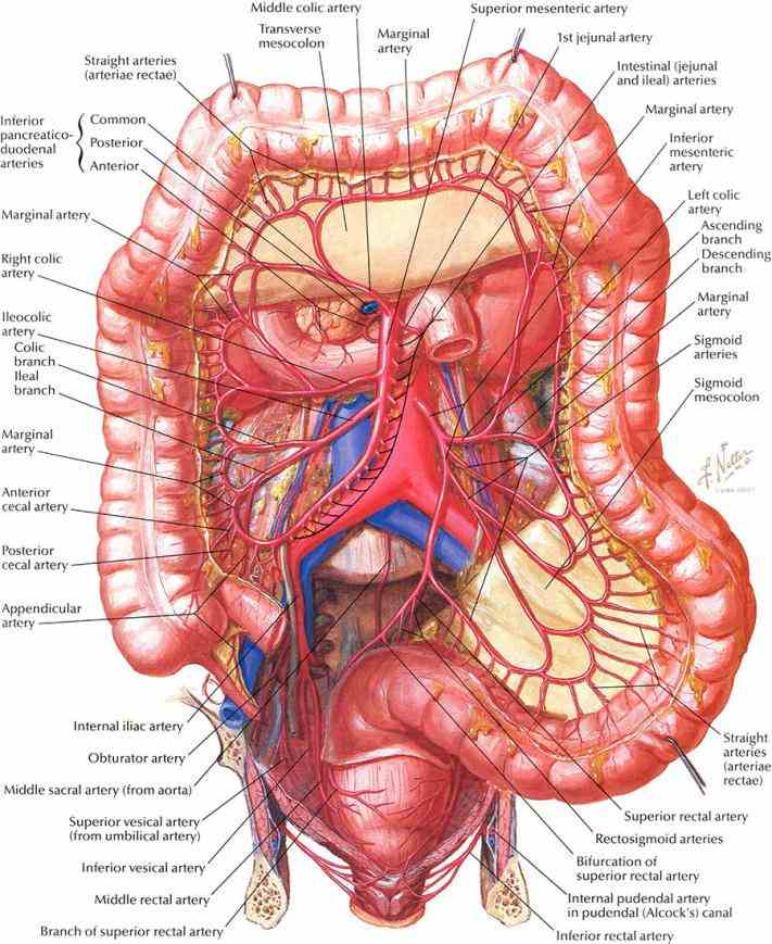 descriptions author agrees  the Anatomy Of The Large Intestine large intestine is made up of cecum colon rectum and