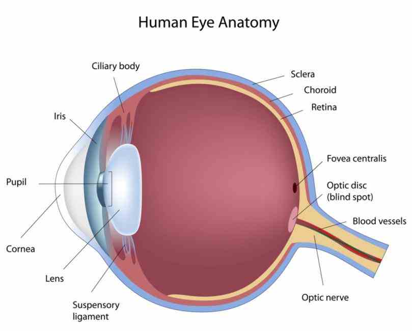 Diagram Of The Human Eye Pictures Wallpapers