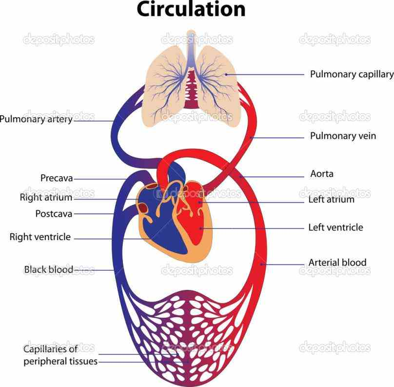 Diagram Of Cardiovascular System Pictures Wallpapers