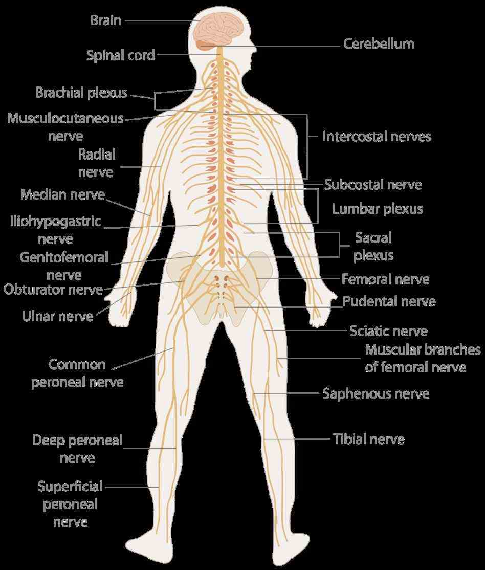 digestive excretory peripheral nervous system includes all nerves your that bring messages to central de Anatomy All The Systems