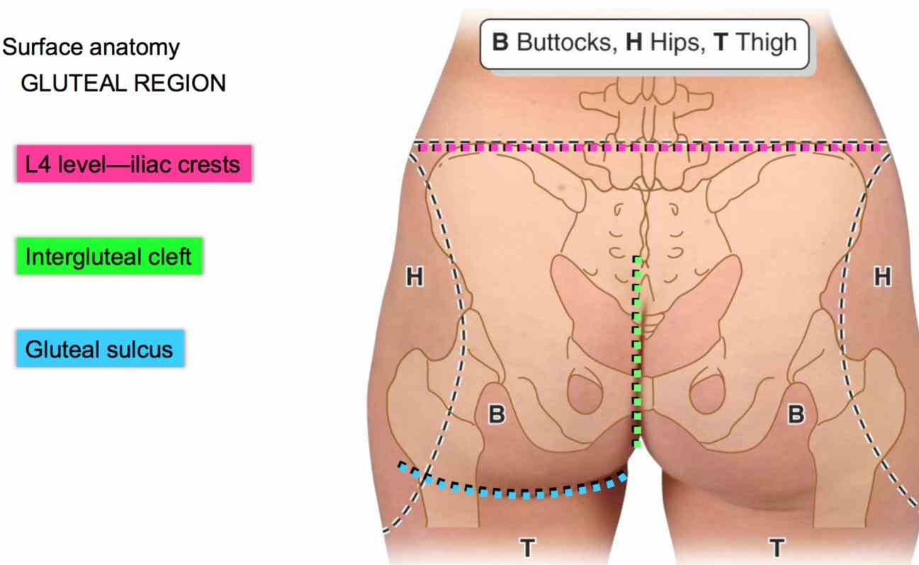 Anatomy Of The Gluteal Region Pictures Wallpapers