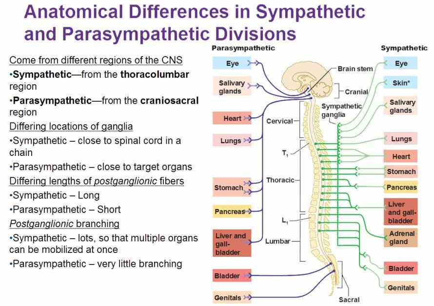 the sympathetic and parasympathetic divisions of the autonomic nervous systems