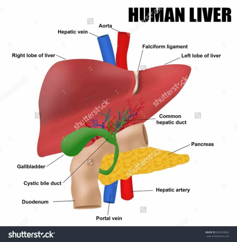 Anatomy Of The Liver Gallbladder And Biliary System Choice Image