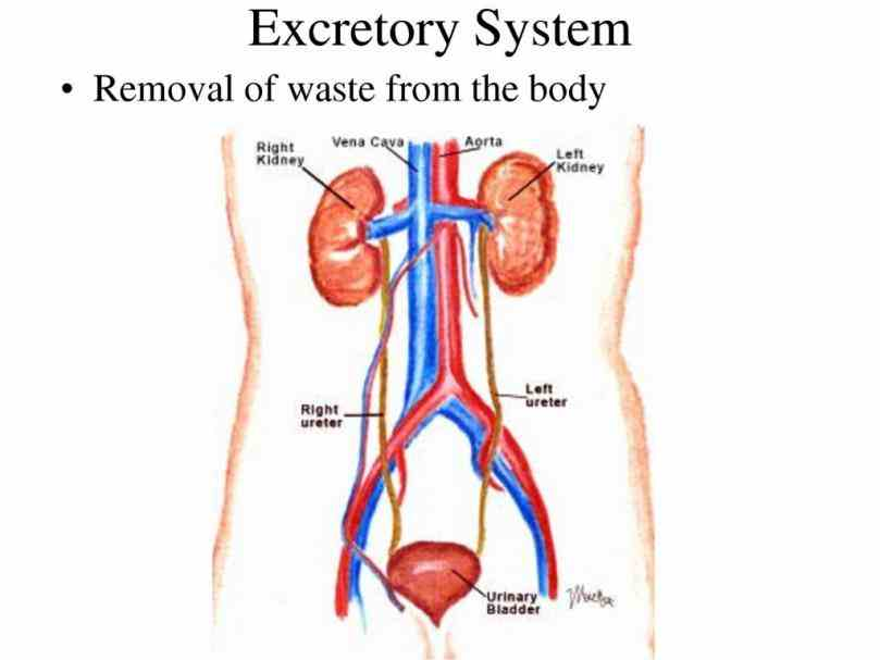 Anatomy Of The Excretory System Pictures Wallpapers