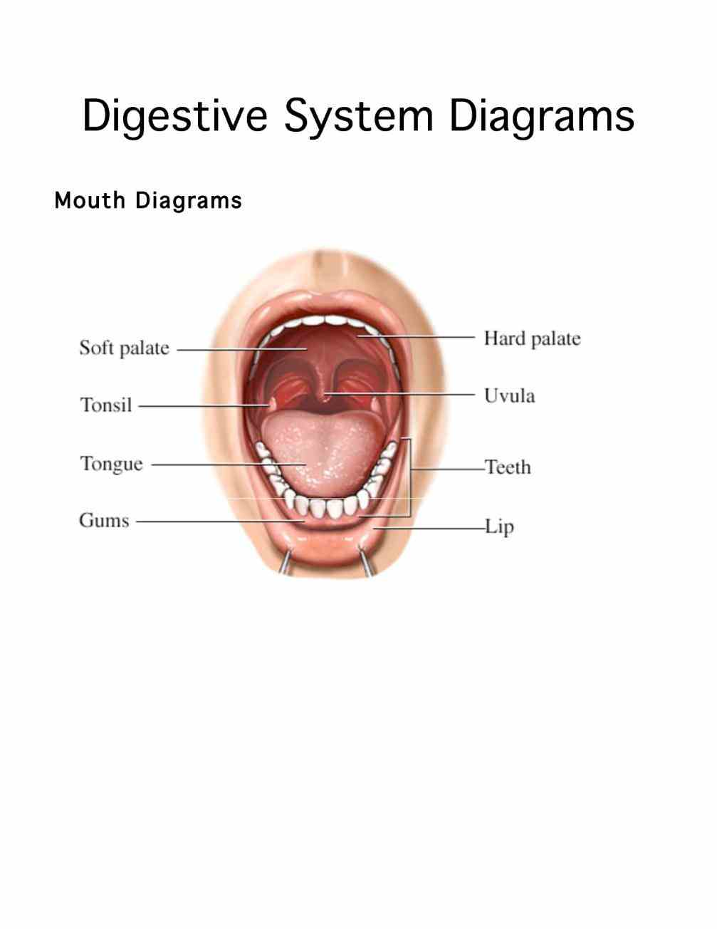 Glands In Digestive System Anatomy Pictures Wallpapers
