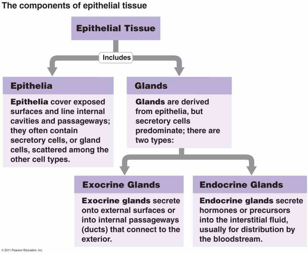 Glandular Epithelium Function And Location Pictures Wallpapers