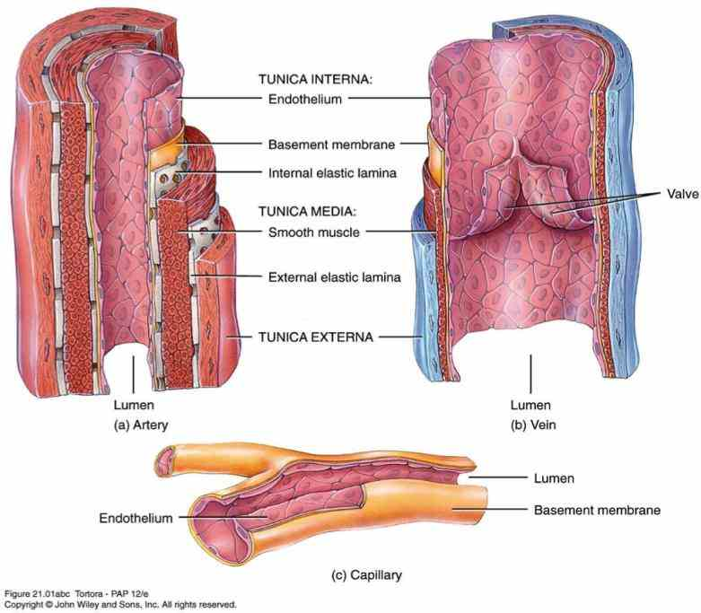 explore Anatomy Arteries And Veins the anatomy of human cardiovascular system also known as circulatory with our detailed