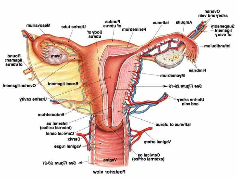Female Body System Diagram Anatoomy Pictures Wallpapers