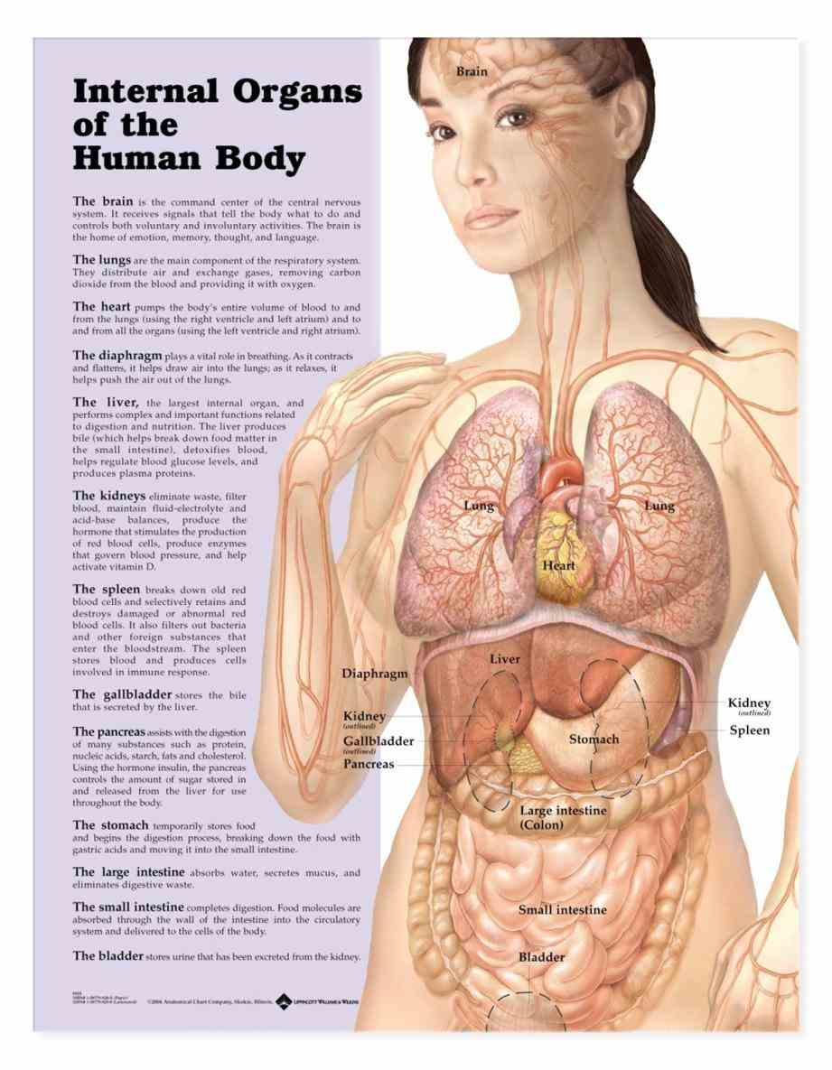 Female Human Anatomy Organs Diagram Pictures Wallpapers