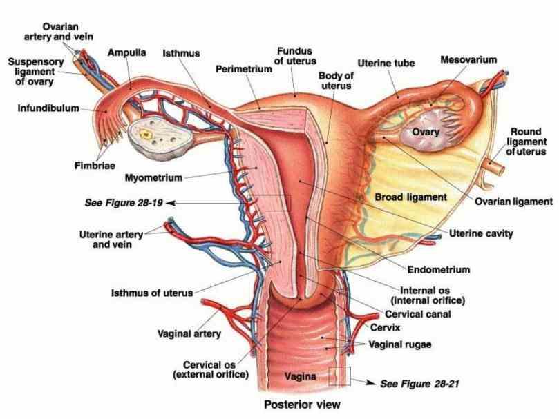 The Anatomy Of The Vagaina