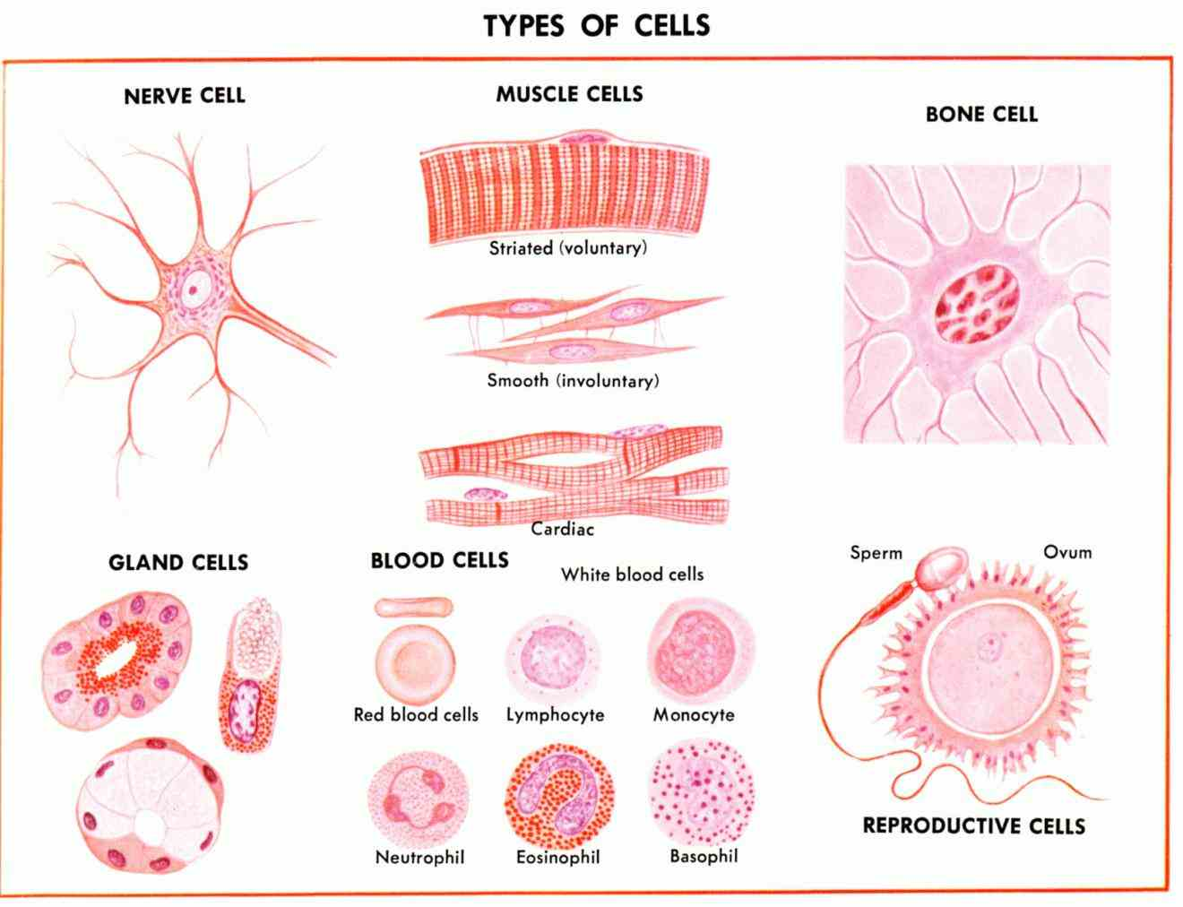 Cells In The Human Body And Their Functions Pictures Wallpapers