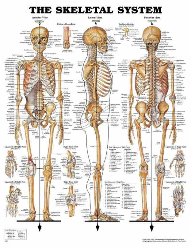 Anatomy Of All Bones In The Human Body Pictures Wallpapers