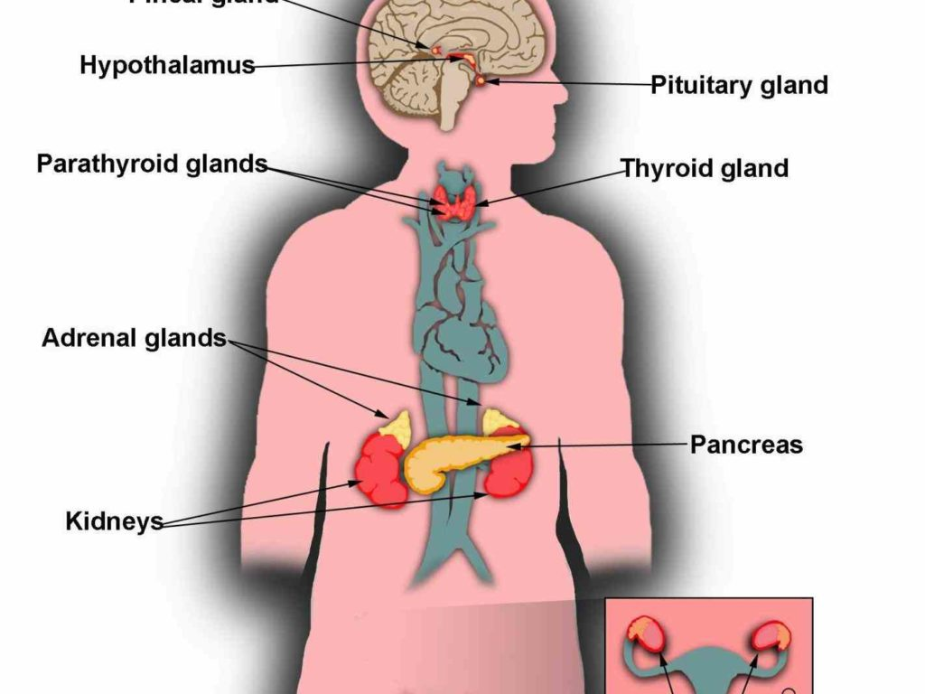 diagram of adrenal glands figure showing heart lungs and main arteriesjpg part  figure showing heart lungs and main arteriesjpg part