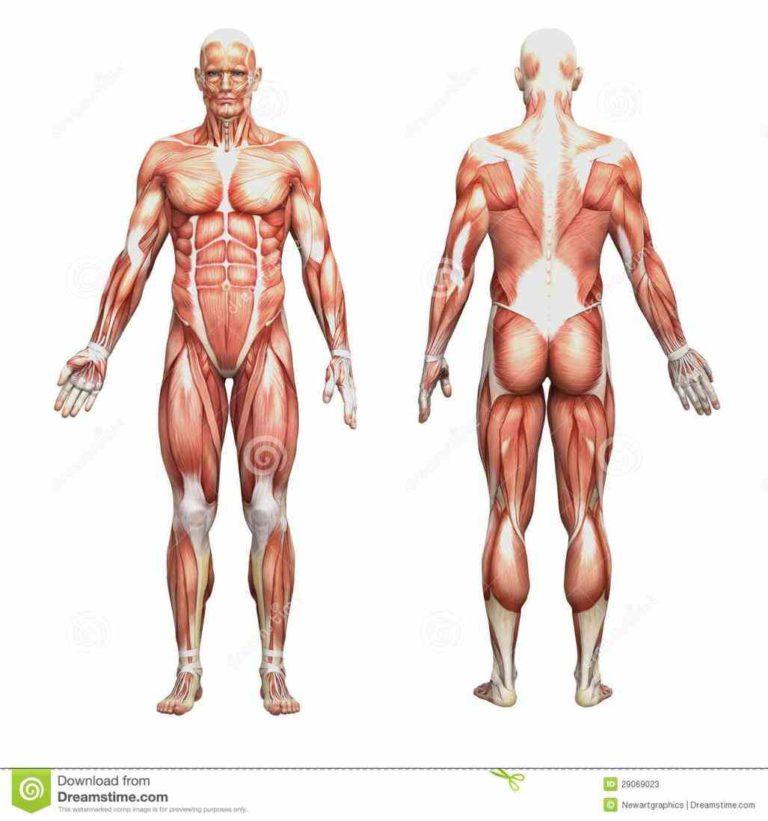 Human and anatomy