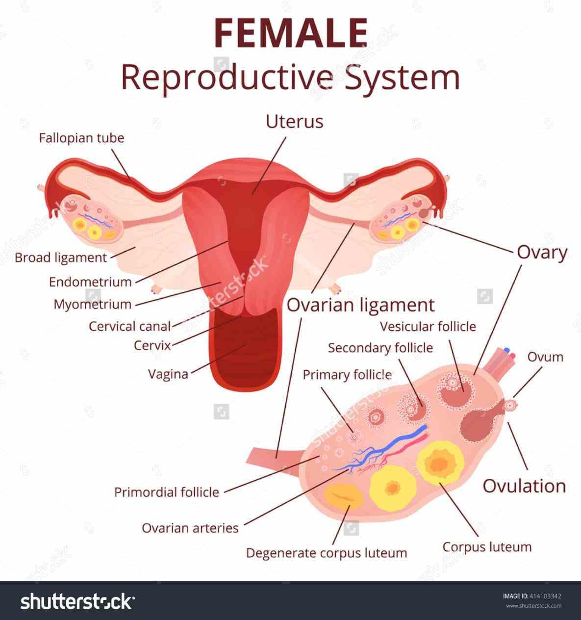 Anatomy of ovary and uterus