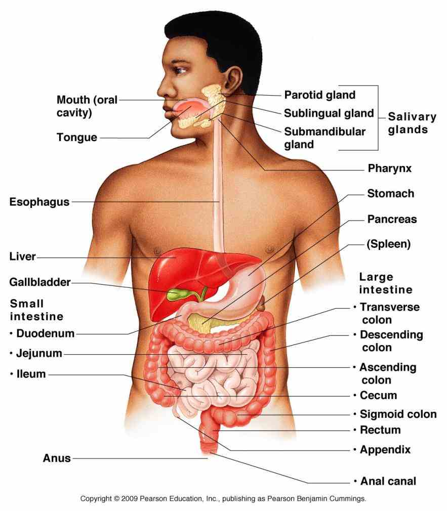 Major Organ Of The Digestive System Pictures Wallpapers