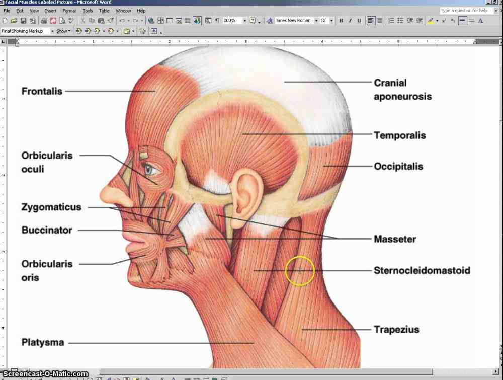 Labeled Illustration Head And Neck Diagram Pictures Wallpapers