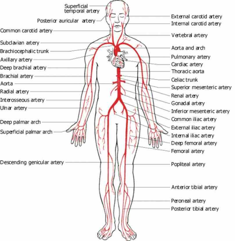 Labeled Vessels Of The Body Pictures Wallpapers