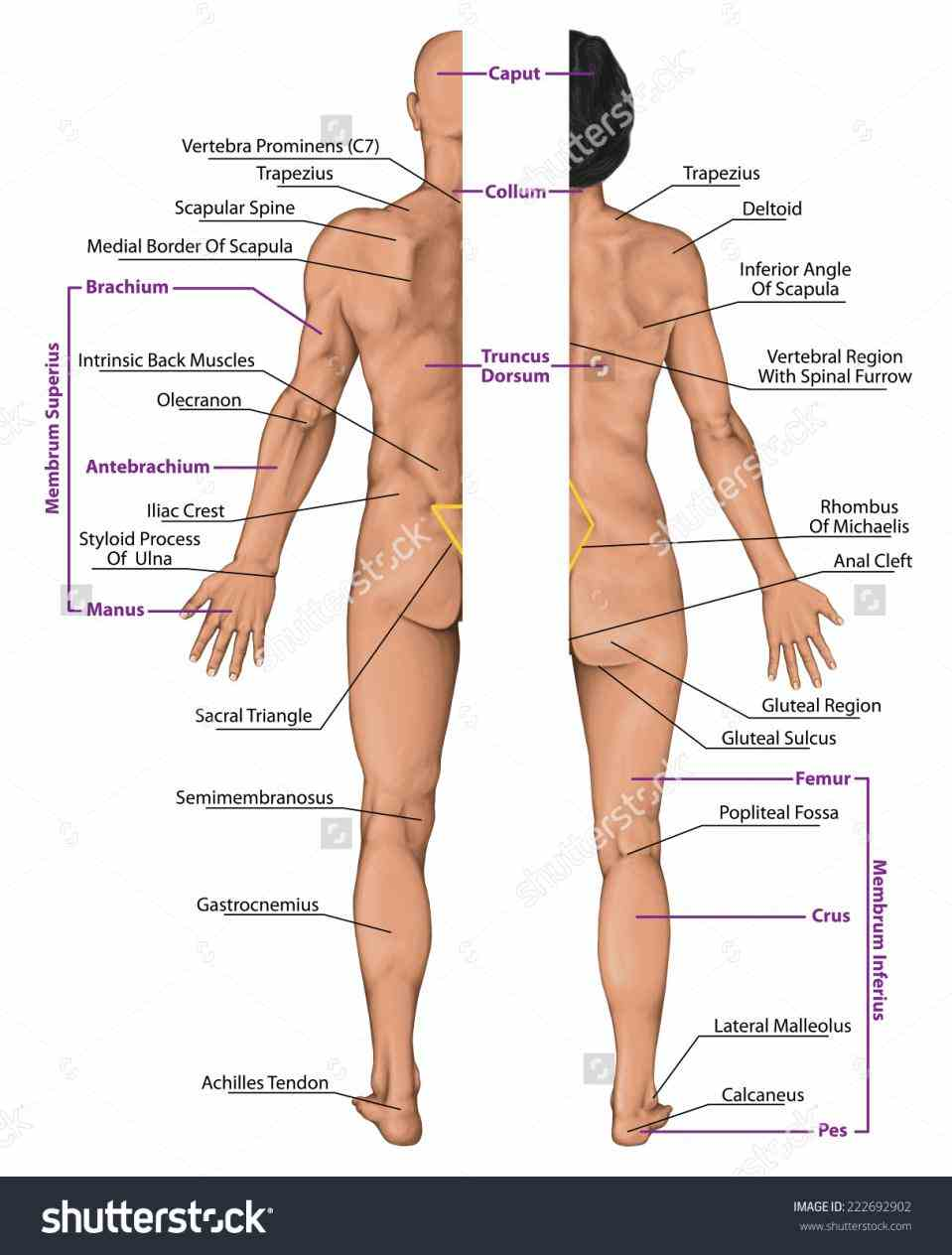front posterior anterior portions learn Anterior And Posterior Parts Of The Body more about body planes and sections in