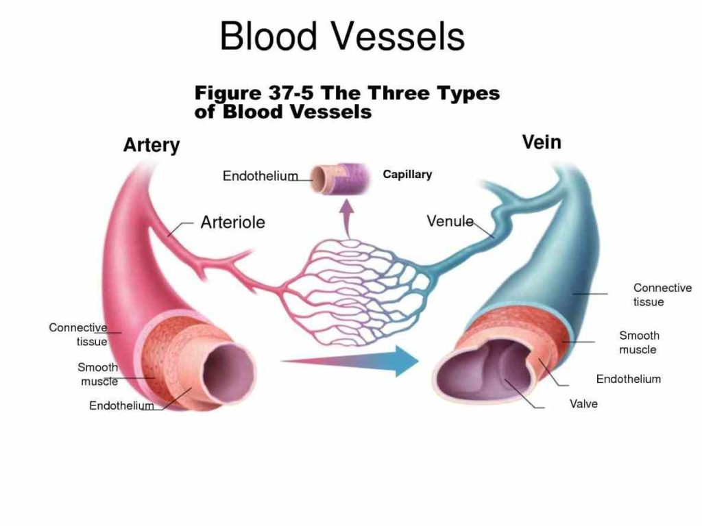 function are classified as either arteries capillaries or