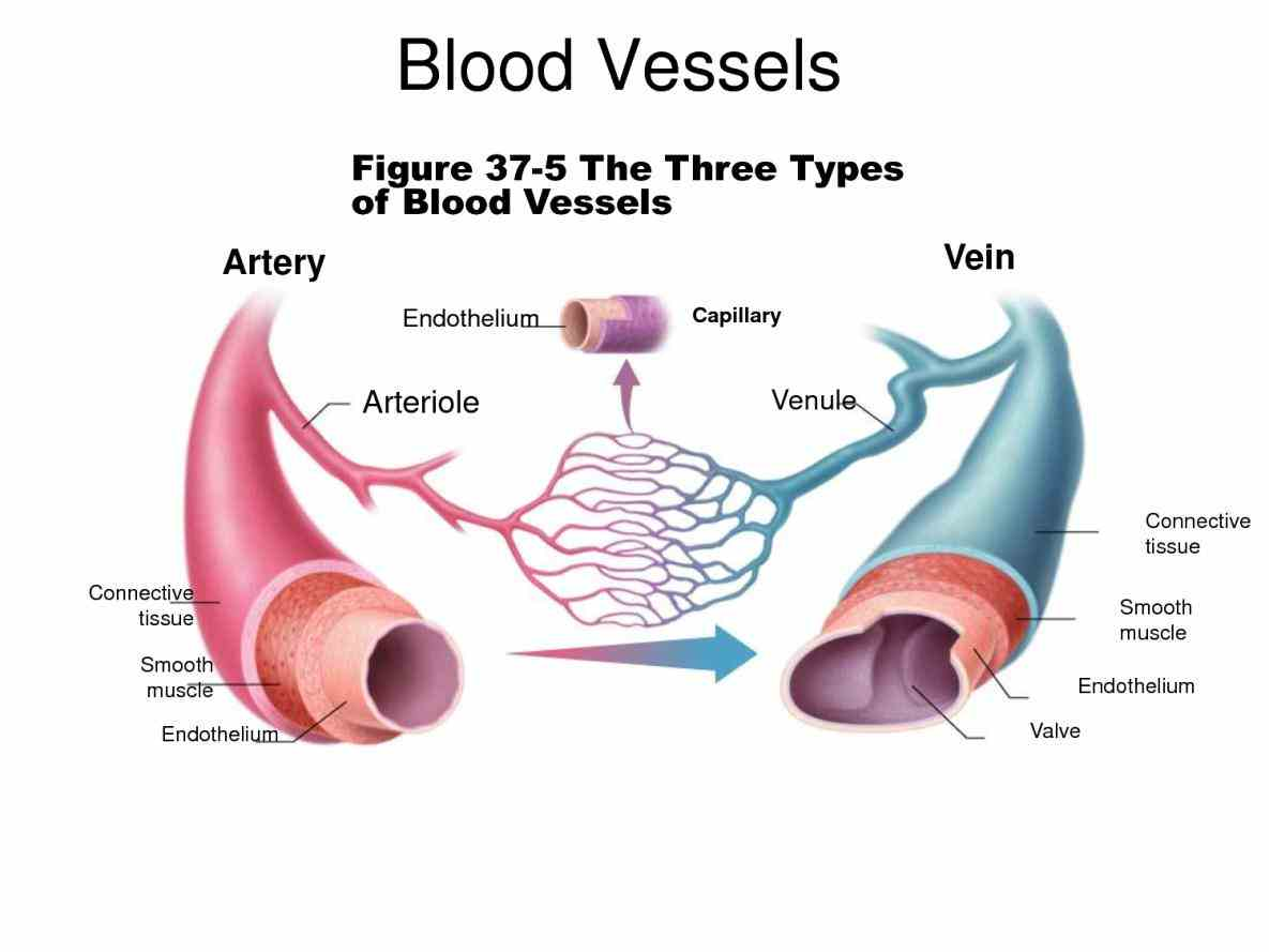 function are classified as either arteries capillaries or veins structures Arteries Veins And Capillaries Structure And Function and functions