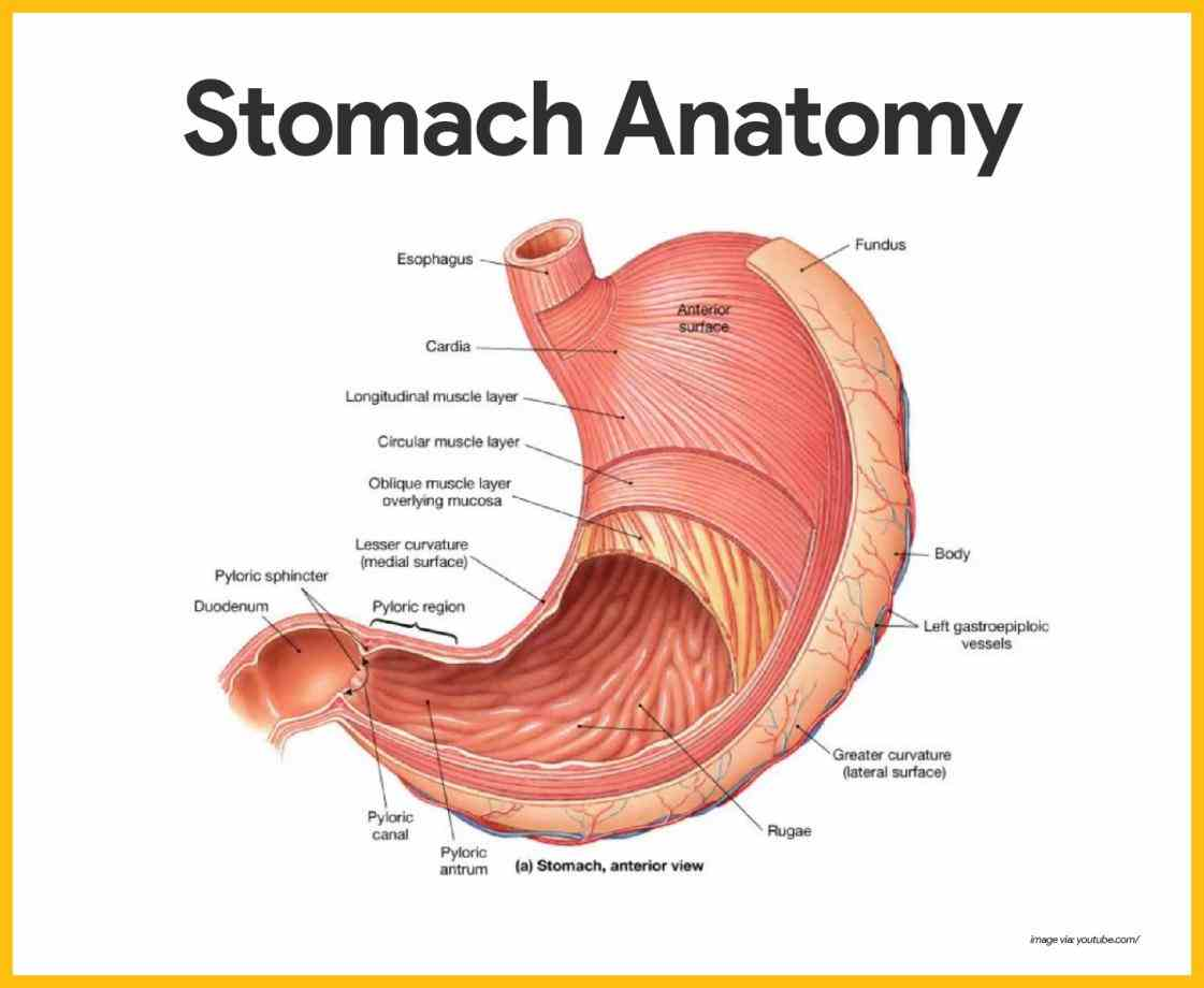 Anatomy The Four Regions Of The Stomach Pictures Wallpapers